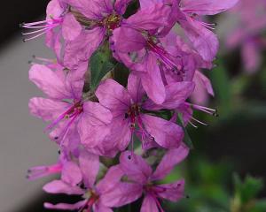 ミソハギ(禊萩)の花