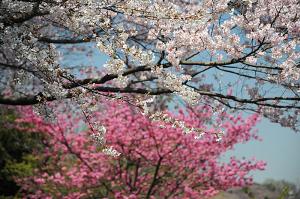 三ッ池公園の桜