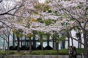 川崎駅前の桜