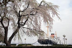 枝垂桜と氷川丸