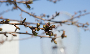 3月27日の桜