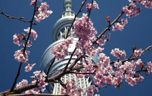 東京スカイツリーと桜