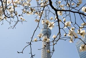 東京スカイツリーと白木蓮