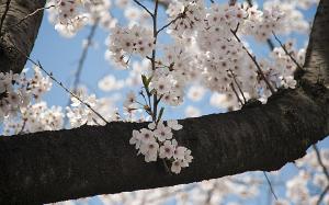 等々力緑地の桜