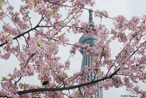 河津桜満開の東京スカイツリー
