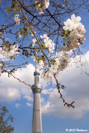 東京スカイツリーとソメイヨシノ