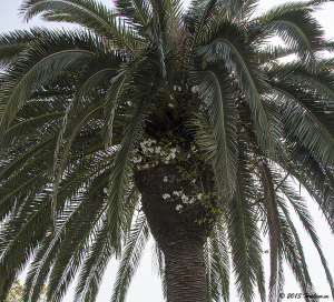 椰子の木に咲く桜