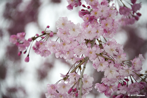 昭和記念公園の枝垂れ桜