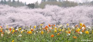 ポピーと桜