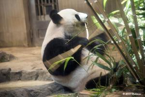 上野動物園のジャイアントパンダ「シンシン」