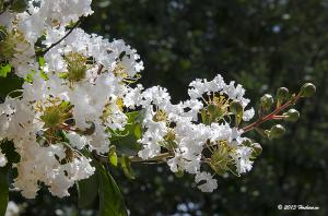 国営昭和記念公園のサルスベリ(百日紅)