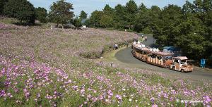 国営昭和記念公園のコスモスとパークトレイン