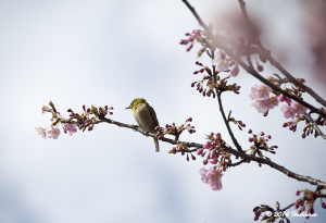 河津桜とメジロ