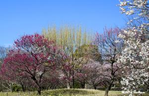 国営昭和記念公園の梅林
