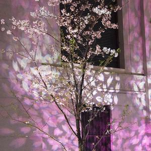 コレド室町 桜ライトアップ