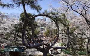 上野恩賜公園のソメイヨシノ