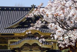 上野東照宮のヤマザクラ