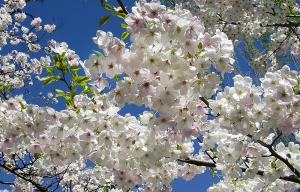 上野恩賜公園の大島桜(オオシマザクラ)