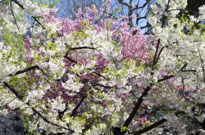 上野恩賜公園の桜 陽光(ヨウコウ)と大島桜