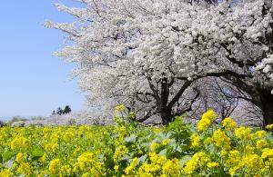 国営昭和記念公園の菜の花とソメイヨシノ