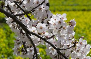 国営昭和記念公園のソメイヨシノと菜の花