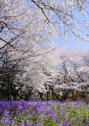 ソメイヨシノとムラサキハナナ(紫花菜)