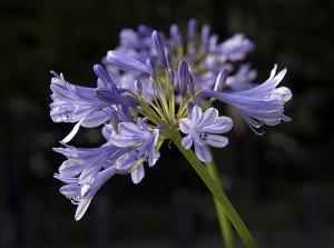 ムラサキクンシラン(紫君子蘭)