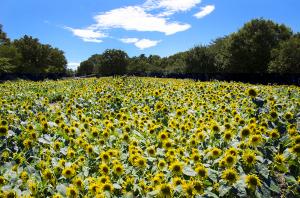 昭和記念公園のヒマワリ キッズスマイル