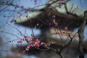 上野東照宮の梅の花