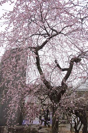 湯島天神の枝垂れ梅