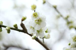 湯島天神の緑萼梅
