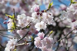目黒川の枝垂れ桜