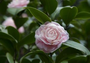 千重咲きの椿