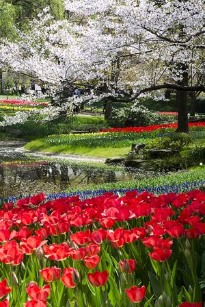 国営昭和記念公園の桜