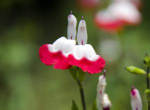 Salvia microphylla(チェリーセージ)ホット・リップス