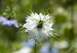 ニゲラ・ダマスケナ(N. damascena)クロタネソウ