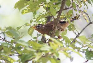 ガビチョウ(画眉鳥)