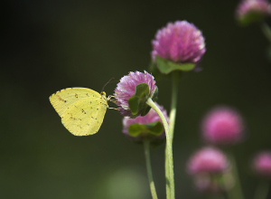 ムラサキツメクサと黄蝶