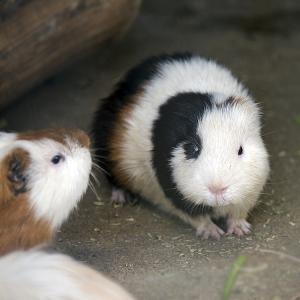 テンジクネズミ(モルモット)