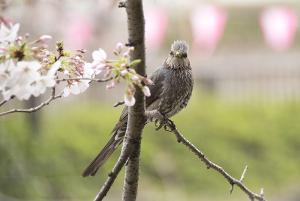 目黒川の桜 ヒヨドリ
