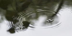 水黽(アメンボ)
