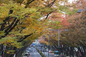 表参道・ケヤキの紅葉