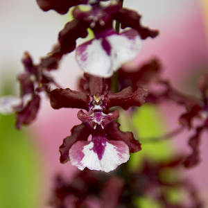Oncidium Sharry Baby  Sweet Fragrance