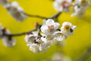 梅と菜の花