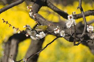 梅と菜の花とメジロ