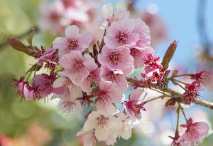 上野恩賜公園の寒桜