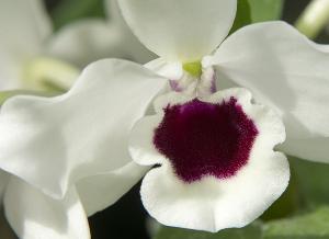 Dendrobium Yukidaruma Queen