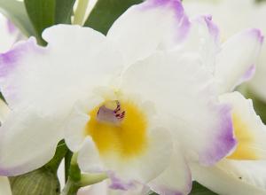 Dendrobium White Rabbit Sakurahime