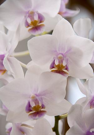 Phalaenopsis Skurko Phalaeno