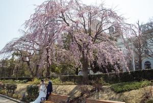 山下公園の枝垂れ桜